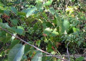Raisins blancs d'une vigne rennaise