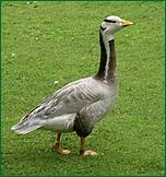 Oie ç tête barrée, crédits photo parc ornithologique de Bretagne