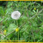 Vertus des plantes sauvages : le pissenlit