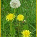 Miel de pissenlit et salade aux boutons et fleurs de pissenlit