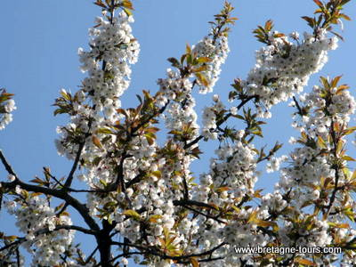 Branches de cerisiers en fleurs
