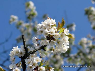 cerisier en fleurs au parc des gayeulles