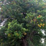 Planter un arbre dans son jardin : un chêne