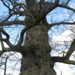 Arbre remarquable de mille ans : le chêne à Guillotin