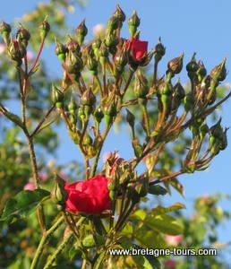 Roses sans pucerons