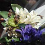 Semons du trêfle pour sauver les abeilles solitaires et les bourdons