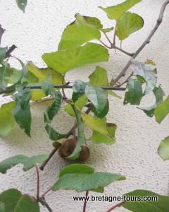 Kiwis dans l'arbre