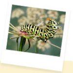 Chasse aux papillons à l'échelle européenne ! Participer à l'inventaire des lépidoptères...