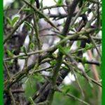 Le prunellier : un arbuste aux propriétés multiples