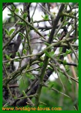 Prunellier, l'arbre du printemps