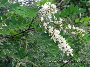 Fleurs du ronbiner faux acacia