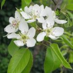Reconnaitre les fleurs des fruitiers : pommier