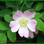 Les fleurs de l'églantier : les cynorrhodons du futur