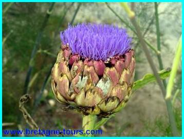 Fleur d'artichaut