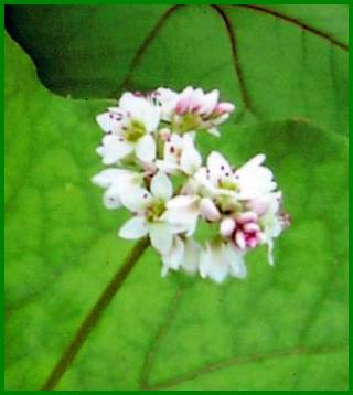 Fleur de sarrasin