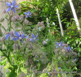Fleurs de bourache