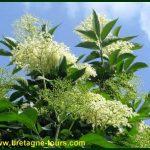 Recette végétarienne de beignets aux fleurs de sureau noir cueillies le long du canal d'Ille et Rance (Ille et Vilaine