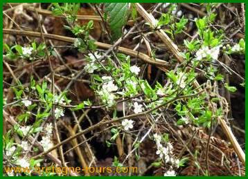 Fleurs blanches du prunellier