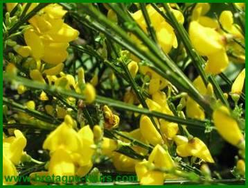 Fleurs du genêt