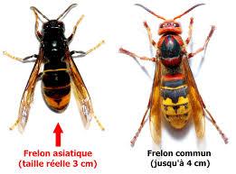 Frelon asiatique