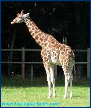 On peut voir le goûter des girafes l'après-midi