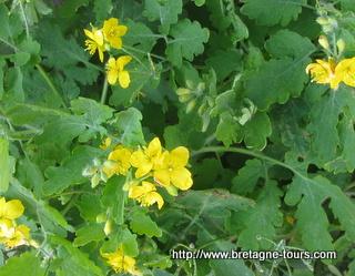 Fleurs de grande chelidoine