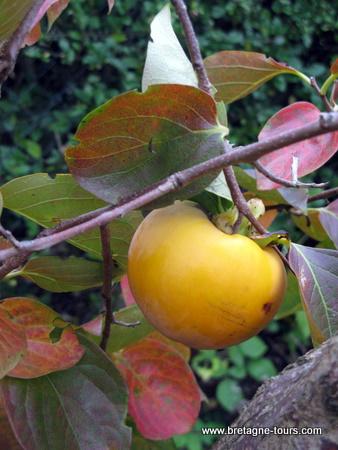le fruit du kaki