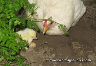 La poule apprend à son poussin à manger