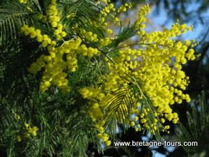 Les Italiennes ont fait du mimosa la fleur de la journée des femmes