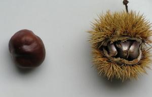 marron à gauche et châtaigne à droite