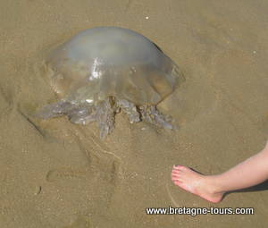 Une méduse sur une plage de l'Atlantique