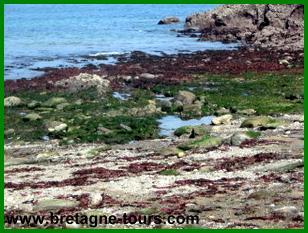 Algues sur le littoral breton