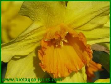 Narcisse odorant