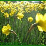 Jonquilles ou narcisses : c'est le printemps