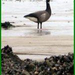 Oiseaux migrateurs en Bretagne : les  oies bernaches sont sur la côte
