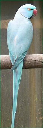 Perruche à collier bleu - credits photo parc ornithologique de Bruz