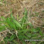 Le plantain lancéolé... une mauvaise herbe pas comme les autres