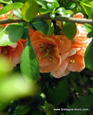 Fleurs oranges du pommier du japon