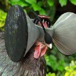 Les poules de batterie et leurs casques virtuels