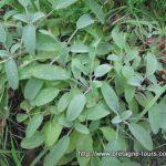 Qui a de la sauge dans son jardin n'a pas besoin de médecin... ou un arbuste à bouturer pour jardiniers débutants