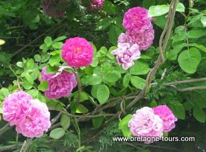 Roses pour un sirop