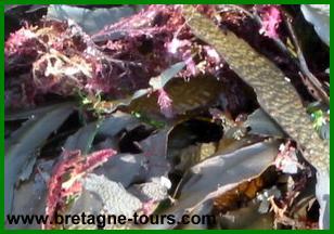 Les algues rouges bretonnes
