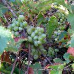 Vignes et raisins... recette d'une tarte aux raisins sauvages